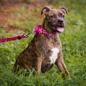 Pink Bone Camo Martingale Dog Collar & Leash - In Use View